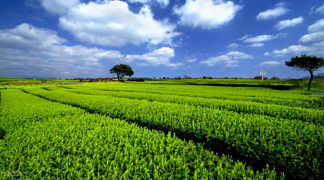 Osullock Green Tea Field